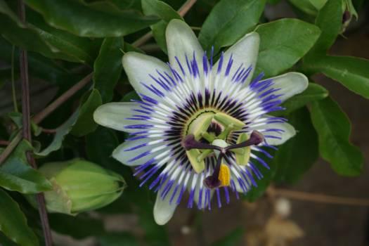 Botanique fleur passiflore passiflore bleue #55975