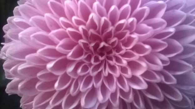 Lilac Pattern Design Free Photo
