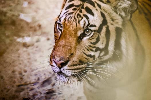Animal big cat close up safari #56368