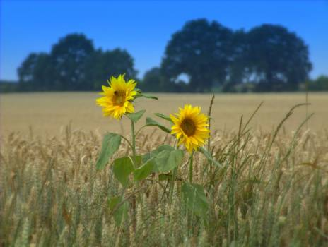 Agriculture nature sunflower wheat #56623
