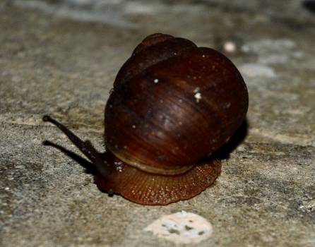 Brown land snail snail snail shell Free Photo