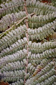 Fern frost icy plant #57280