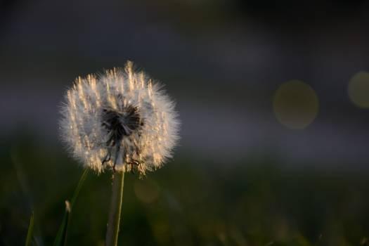 Back light dandelion #57470