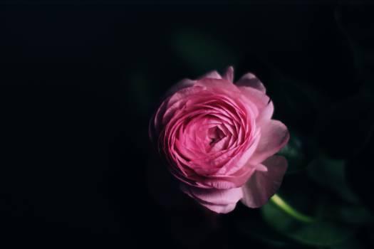 Flower pink rose flower #57598