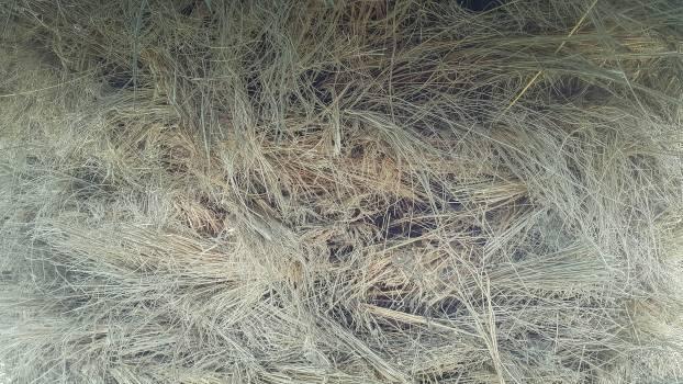 Field Grass Wheat Free Photo