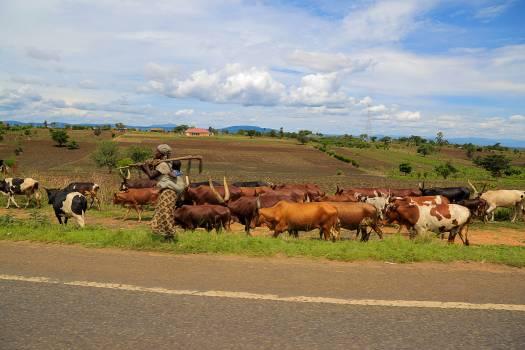 Africa animal farming cattle fields #58293