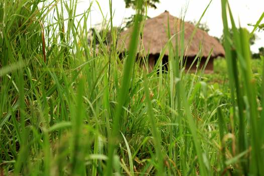 Africa family house grass thatched green grass #58300