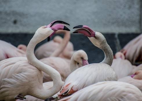Flamingo Wading bird Aquatic bird Free Photo