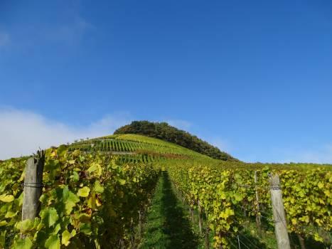 Grape vine grapevines landscape mountain #59001
