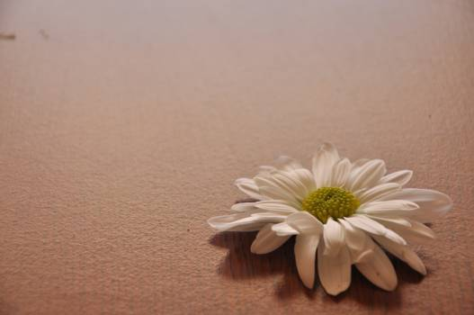 Close up of daisy flower against white background Free Photo