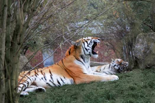 Tiger Against Trees #59348