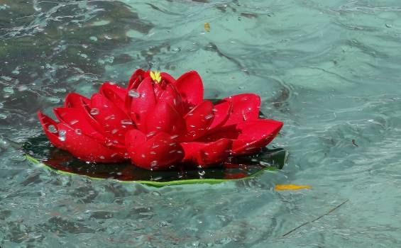 High Angle View of Red Flower Floating on Water Free Photo