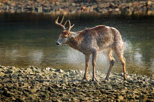 Side View of Deer Walking in Lake at Forest #59885