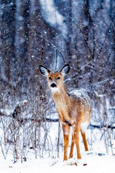 Portrait of Deer Standing on Snow Covered Field #60045