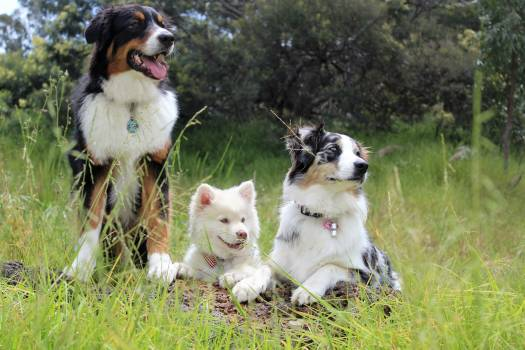Portrait of Dog on Field #60463