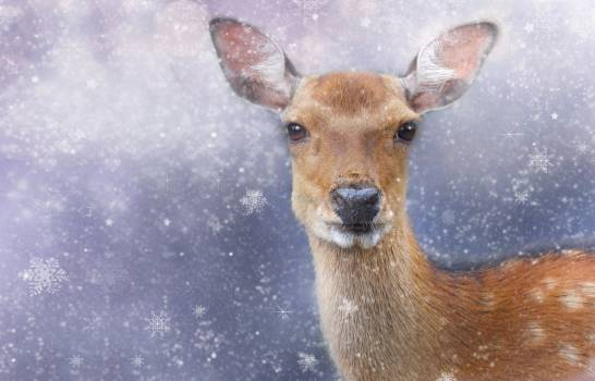 Close-up Portrait of Deer on Snow #60710