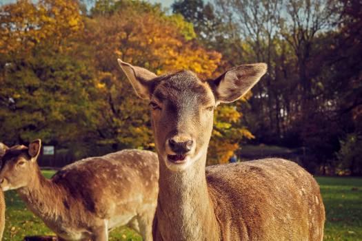 Portrait of Deer on Field #60757