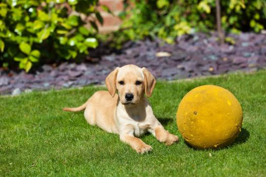 High Angle View of Golden Retriever Sitting on Grass #60785