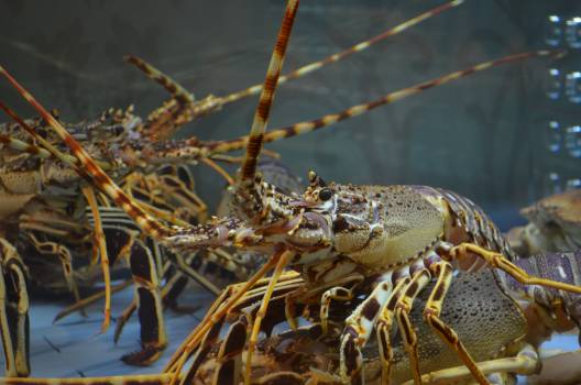 Close-up of Lobster #60915