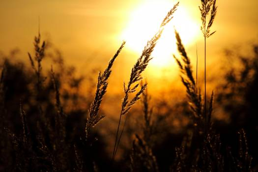 Close-up of Wheat Field Against Sky at Sunset Free Photo