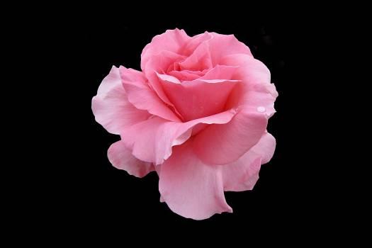 Close-up of Pink Flower Against Black Background #61233