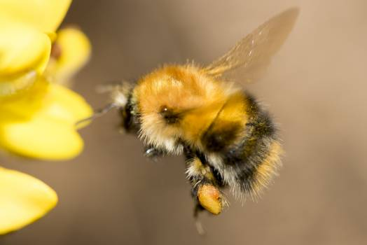 Close-up of Honey Bee on Yellow Flower #61288