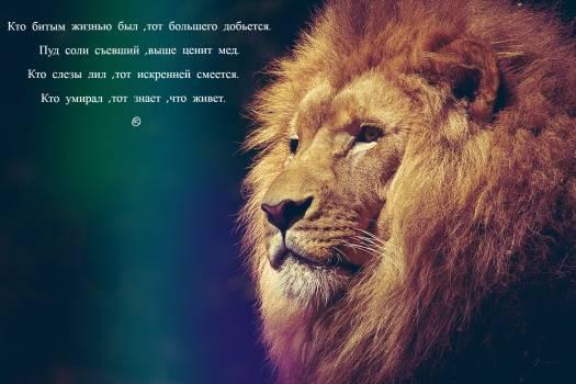 Close-up of Lion Free Photo