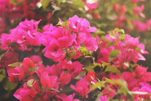 Close-up of Pink Flowers Blooming Outdoors #63104