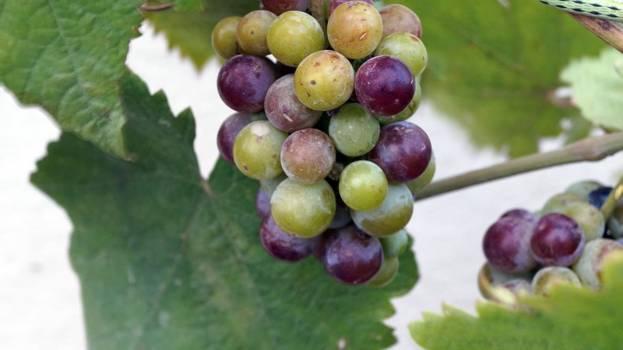 Close up of grapes #63414
