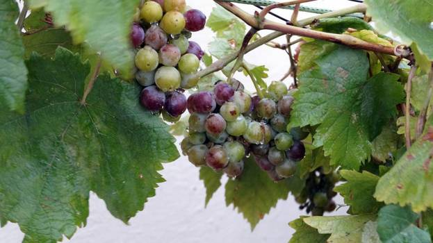 Close up of grapes growing on tree Free Photo