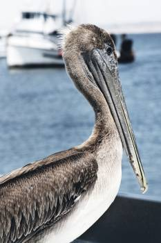 Close up of pelican by lake Free Photo
