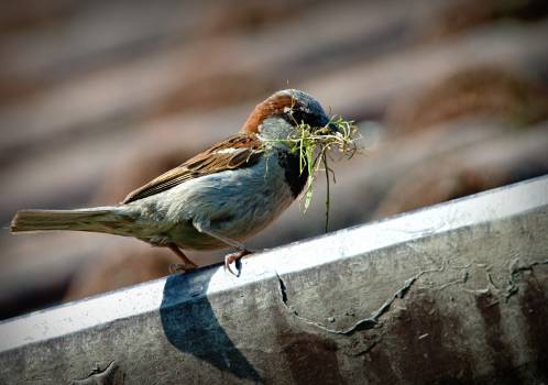 Close-up of Sparrow Perching on Wood Free Photo