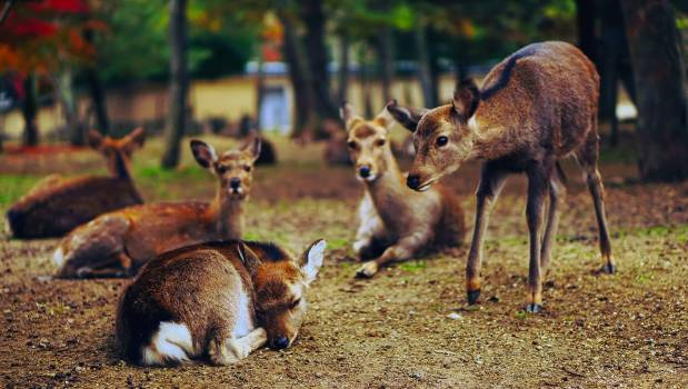 Deer on Field #64205