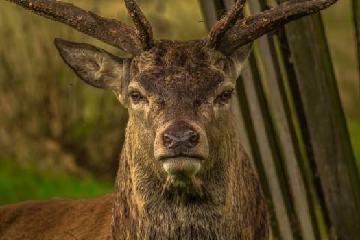 Close-up Portrait of Deer #65880
