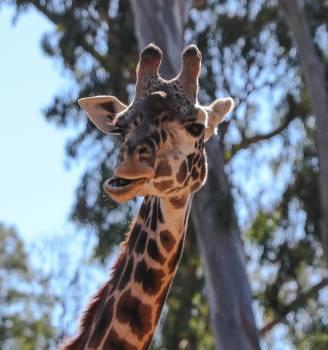 Giraffe Africa Animal Free Photo