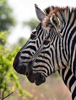 Africa savanna wildlife zebra Free Photo