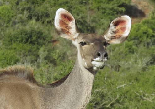 Africa animal buck cape grysbok #67552