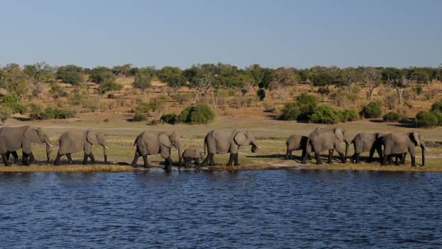 Africa botswana chobe elephant Free Photo