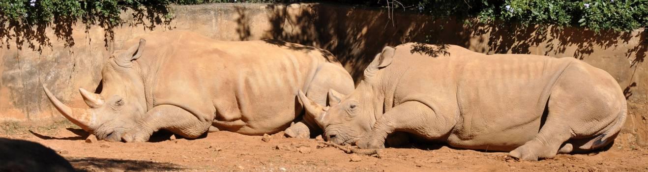 Rhino south africa wildlife Free Photo