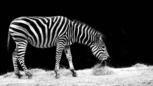 Africa animal black and white eat Free Photo