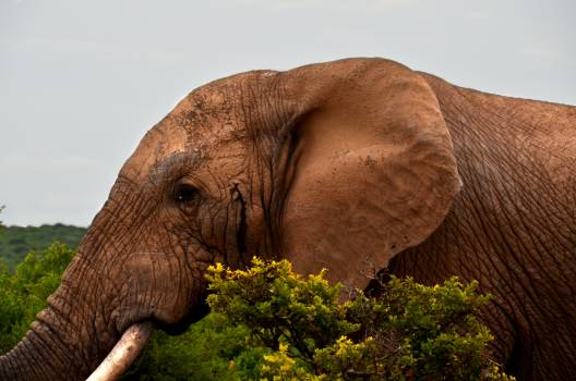 Africa african bush elephant big five elephant Free Photo