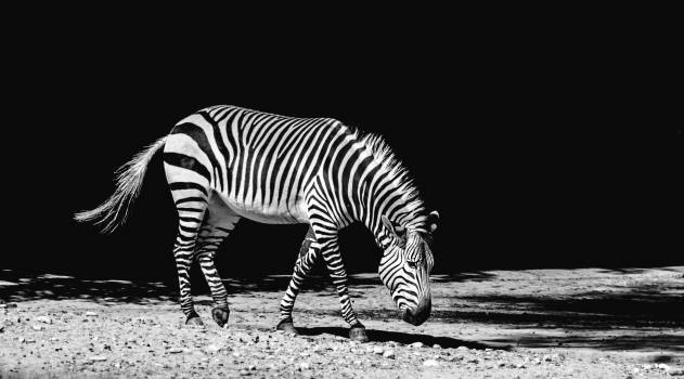 Africa animal black and white black and white Free Photo