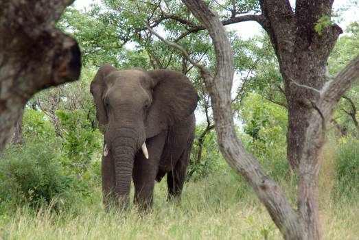 Africa animal elephant kruger park Free Photo