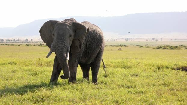 Africa elephant safari Free Photo