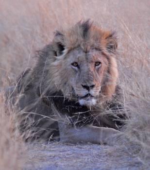 Africa botswana lion savuti Free Photo