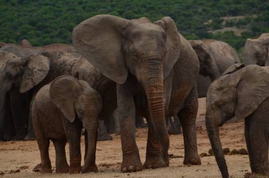 Africa african bush elephant baby elephant big five Free Photo