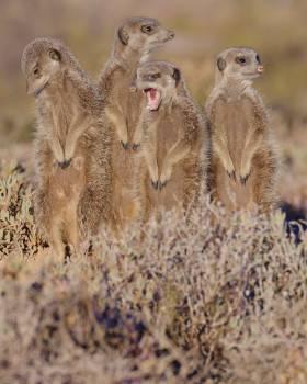 Meerkat outshoorn south africa #67649