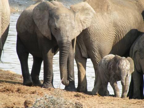 Africa animal elephant safari Free Photo