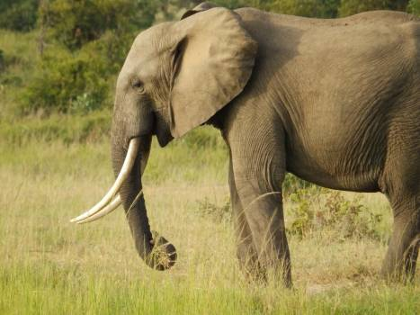 Africa elephant mammal pachyderm Free Photo