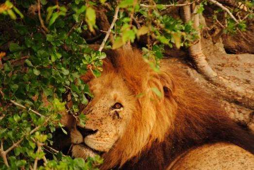 Africa animla kenya leon Free Photo